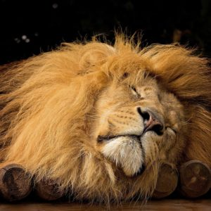 Sleeping Lion - Peaceful