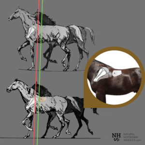 The horse's shoulder / scapula and how it operates