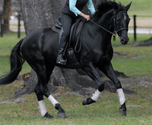 Warmblood horses are typically used in dressage and other sports that require certain lateral and vertical precision.