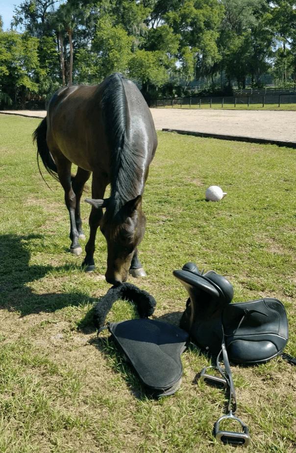 Horse sniffing saddle from Natural Horseman Saddles 'Glenn Saddles' range.